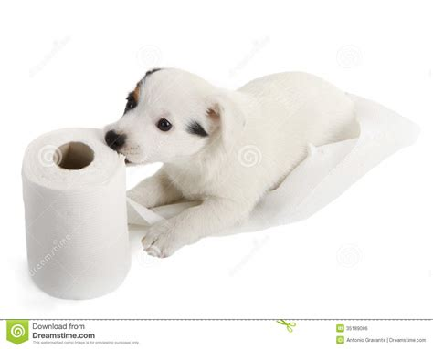 puppy toilet paper puppy with toilet paper royalty free stock image image 35189086