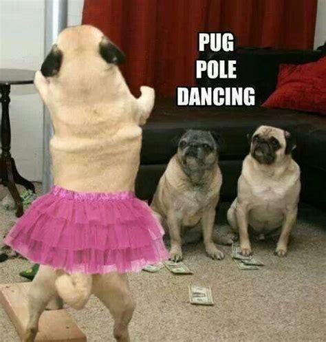 Dancing Dog Meme - pug pole dancing doggy humour pinterest