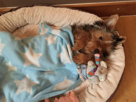 yorkie stud fee terrier ready for stud no fees harrow middlesex pets4homes