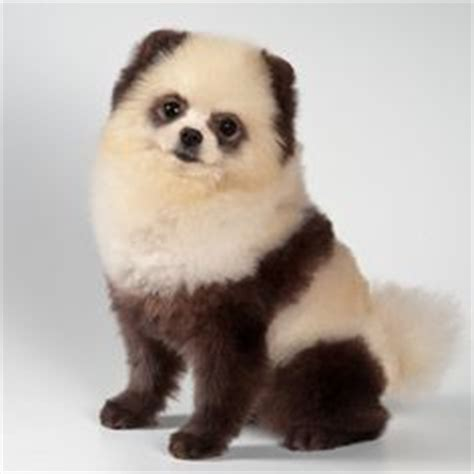 panda pomeranian this pomeranian looks like a panda so pomeranians and pandas