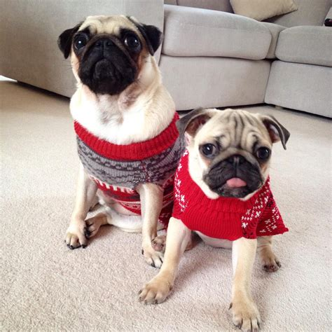 ellie and darcie the pugs xxjemmamxx on quot pugs in jumpers my http t co aziwqac7xs quot
