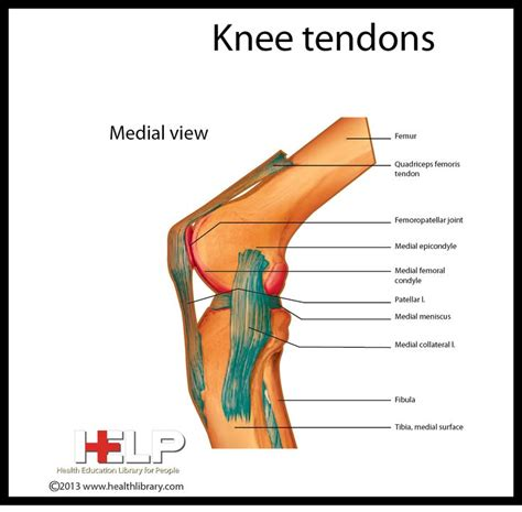 knee tendon diagram knee tendons skeletal