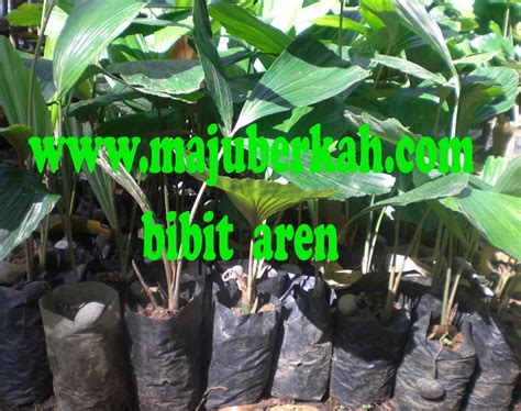 Bibit Aren Unggul bibit aren bibit tanaman aren jual bibit tanaman aren