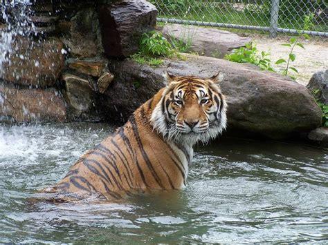 popcorn park zoo mourning  loss  beloved tiger dante