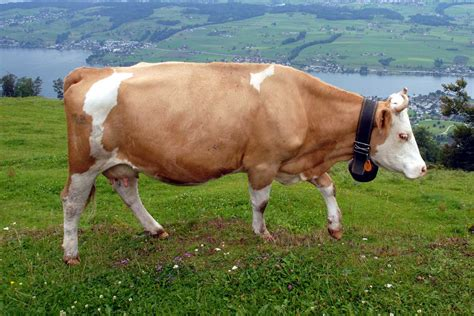 are you a cow wallpapers of cow as animal for desktop background wild life