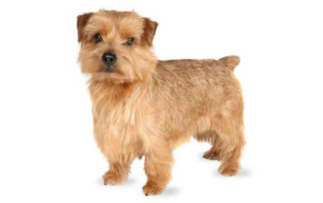 Do Norfolk Terriers Shed by Names Of Non Shedding Dogs Breeds Picture