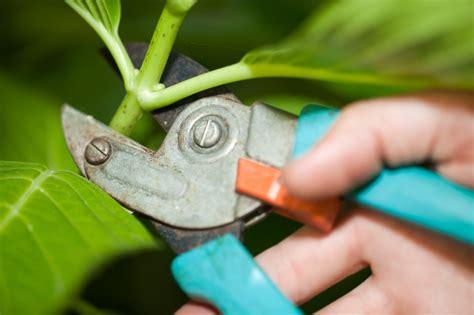 hortensien stecklinge hortensien durch stecklinge vermehren 187 so wird s gemacht