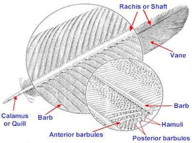 feather diagram bird feathers deceit of theory of evolution
