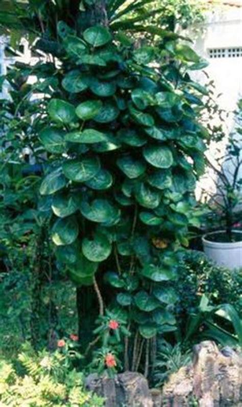 Sikas Mawar Jambe tanaman sikas mawar jambe tanaman tahan panas