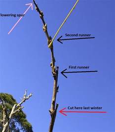 wisteria produces 2 types of growth long running stems short flowering spurs with age
