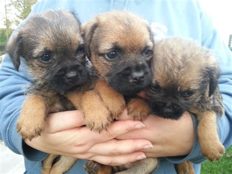 border terrier puppies amazing pedigree border terrier puppies heywood greater manchester pets4homes