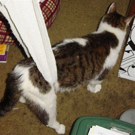 Sling Cat cat paralysis causes symptoms and treatments animaltia