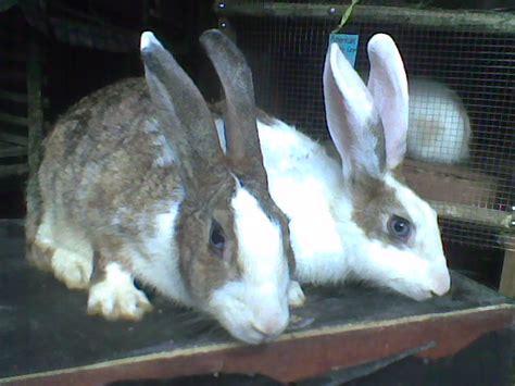 Raflessia Bengkulu kelinci raflessia bengkulu jenis jenis kelinci