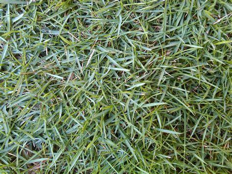Jual Rumput Jepang jual rumput gajah mini rumput jepang rumput peking