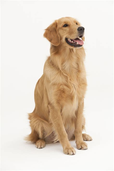 taking care of golden retriever gallery 1433438588 gettyimages 495616687 jpg
