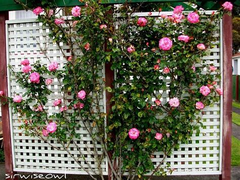 how to build a trellis for climbing plants expert advice for building a lattice trellis in your