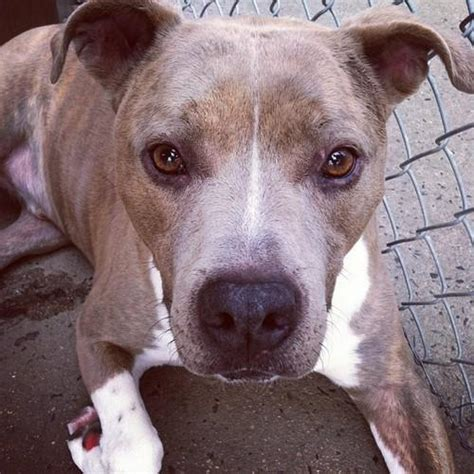 dogs that look like pit bulls large breed that looks like a pit bull breeds picture