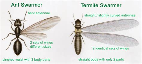 how to get rid of termites with wings in house how to get rid of carpenter ants tomlinson bomberger
