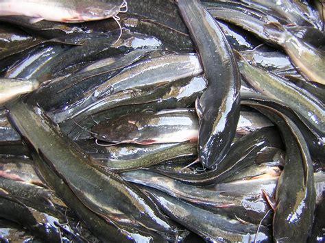 Cara Budidaya Ikan Lele cara budidaya ikan lele di kolam terpal kumpulan