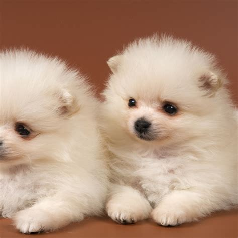 pomeranian spitz mix puppies spitz and pitt mix breeds picture