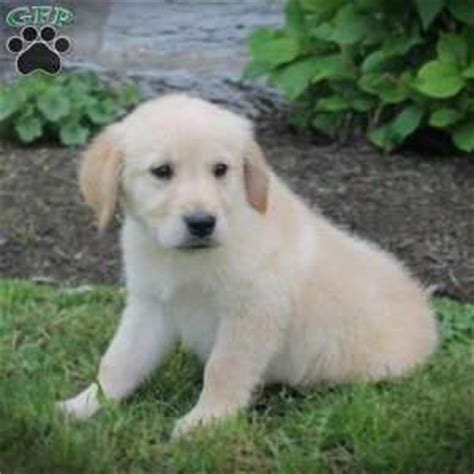 golden retriever puppies for sale in denver golden retriever puppies for sale
