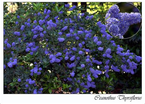 plantings for privacy guide to adding blue flowering plants to your garden crasstalk