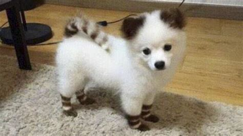 pictures of pomeranian huskies teacup pomeranian husky mix