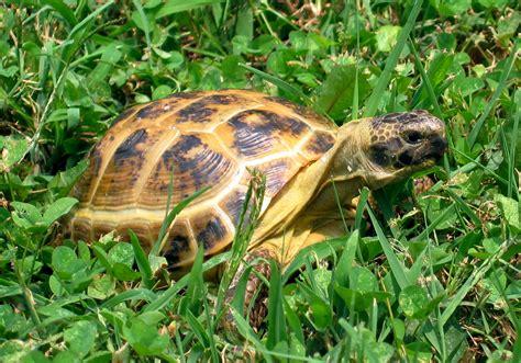 Russian Tortoises | russian tortoise redorbit