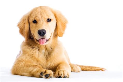 golden retriever types of dogs golden retrieverfds3 jpg golden retriever breeds