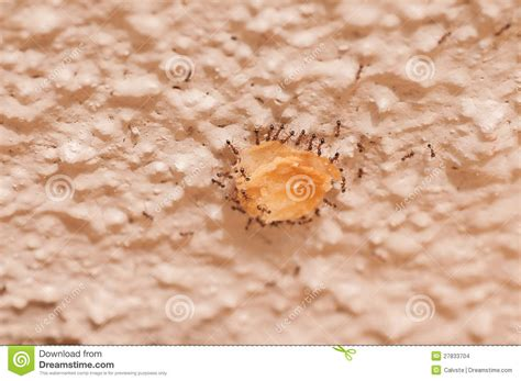 carrying food ants carrying food up the wall on a day stock photo image 27833704