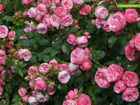 Mawar Maxy bunga mawar asyik nan cantik slideshow kebun tanaman