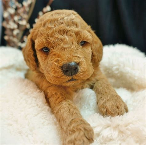 mini goldendoodles jacksonville fl puppy visit policy doodles and more