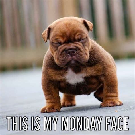Monday Dog Meme - monday face english bulldog puppy puppied pinterest