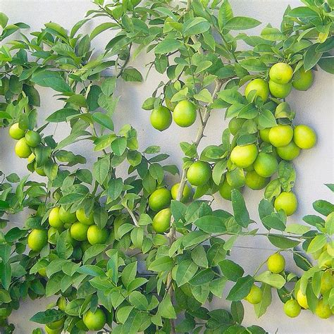 espaliered citrus food garden pinterest