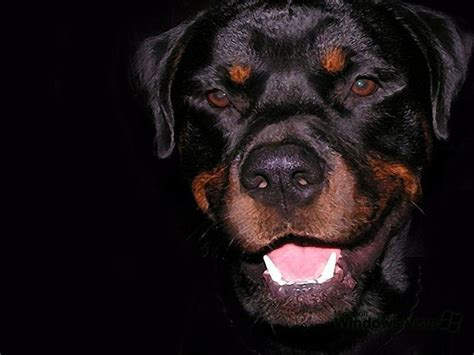 rottweiler wallpaper rottweiler wallpapers wallpaper cave
