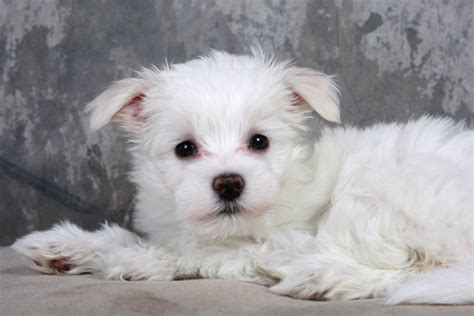 maltese bichon puppies bichon maltese apartment