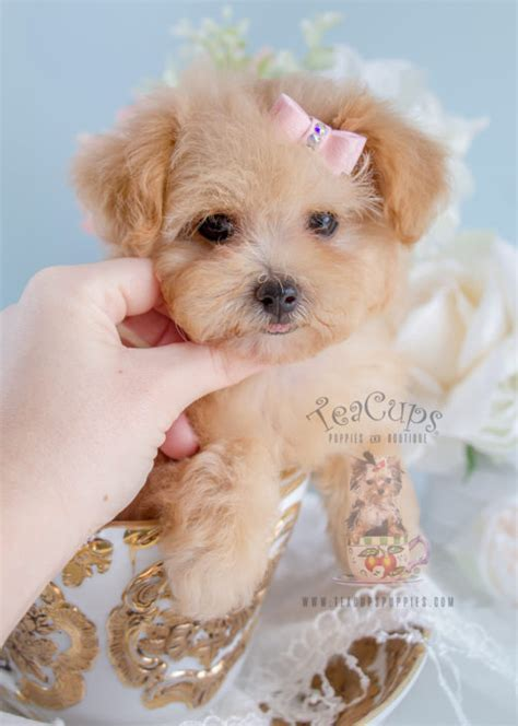 teacup puppies for sale teacup poodles and poodle puppies for sale by teacups