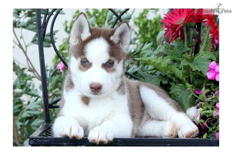 siberian husky puppies for adoption near me siberian husky puppy for sale near lancaster pennsylvania 7cd1064e 57a1