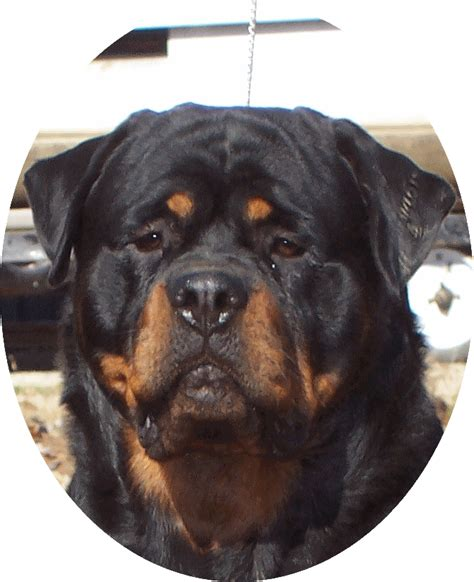 rottweiler rescue il rottweiler puppies for sale in illinois photo