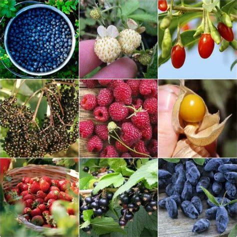 backyard berry plants 18 berry bushes to grow in your yard how to guides
