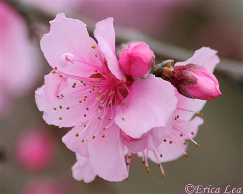pink fruit tree blossom quot confection quot flickr photo sharing