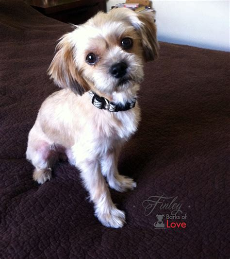 shih yorkie mix finley shorkie shih tzu yorkie mix adopted flickr photo