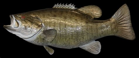 Fisch Bass by Smallmouth Bass Fish Mount And Fish Replicas Coast To Coast