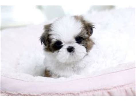 shih tzu puppies for sale in san antonio shih tzu puppies for sale in cheap breeds picture