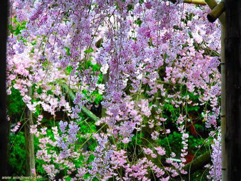 alberi fioriti alberi fioriti in primavera