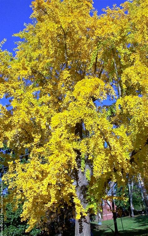 new year yellow tree ginkgo tree on the tree guide at arborday org