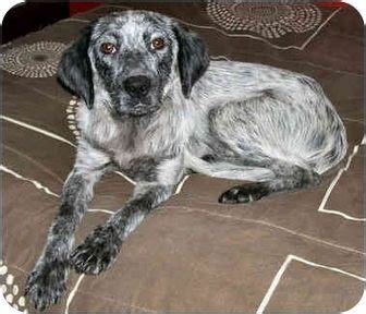 english setter boxer mix www pixshark com images australian cattle dog english setter mix australian