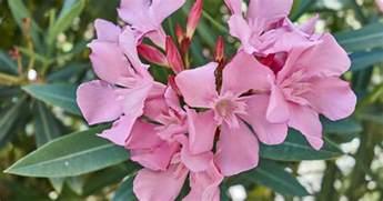 oleander im garten kann oleander im wohnzimmer 220 berwintern elvenbride