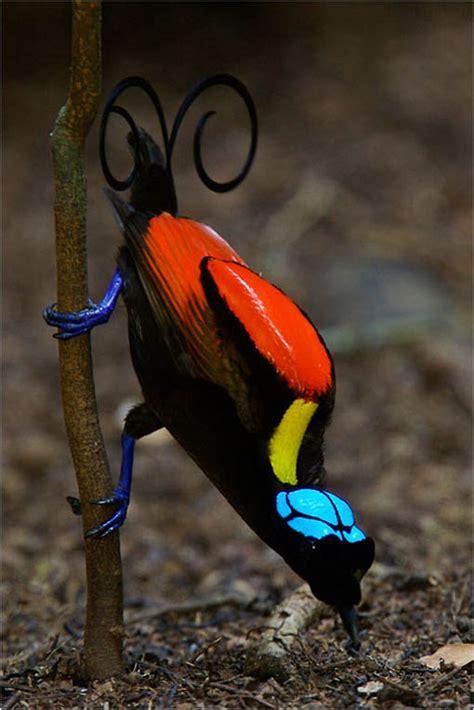 imagenes sorprendentemente bellas la sorprendentemente bella ave del para 237 so de wilson la