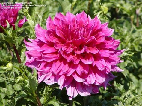 Emory Search 17 Best Images About Dahlia Emory Paul Ordered From Swan Island On